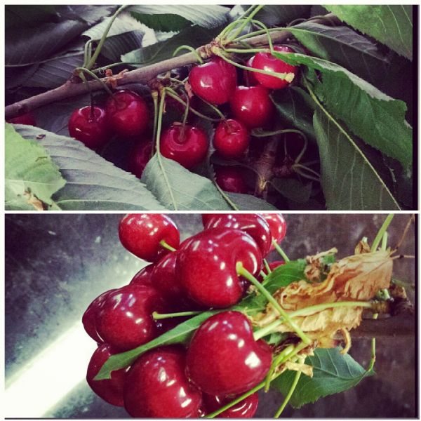 Cherry Time (Cherry Recipe Suggestions)